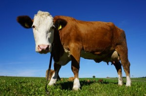 Dairy Cow at Pasture